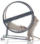 En mus springer i ett hamsterhjul. En annan befinner sig utanför och vill också in och springa.