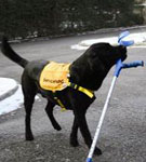 En svart servicehund med en krycka i munnen.