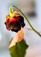 En röd ros som slokande närmar sig livets slut.